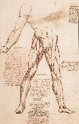 Muscle structure of the thigh LEONARDO da Vinci